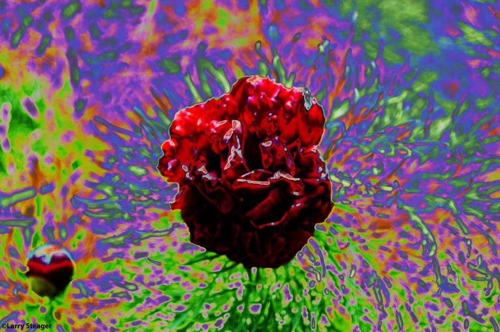 Solarize flower by larrysphotos