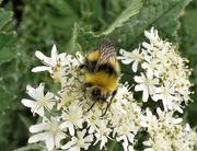 13th May 2020 - Early Bumblebee