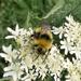 Early Bumblebee  by julienne1