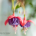 Lovely Fuchsia