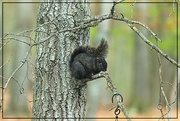 13th May 2020 - Black Squirrel in a Gray Tree