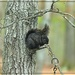 Black Squirrel in a Gray Tree by olivetreeann