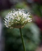 13th May 2020 - White Allium
