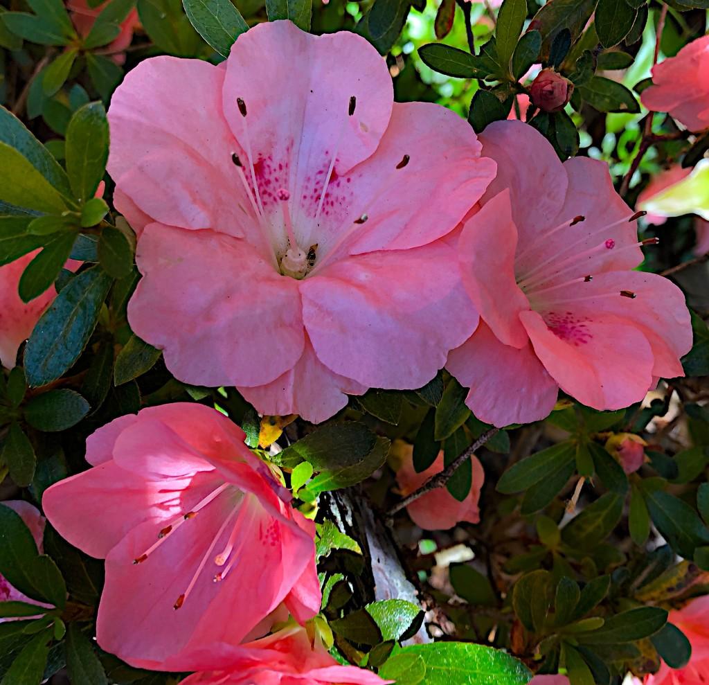 Evergreen azaleas by congaree
