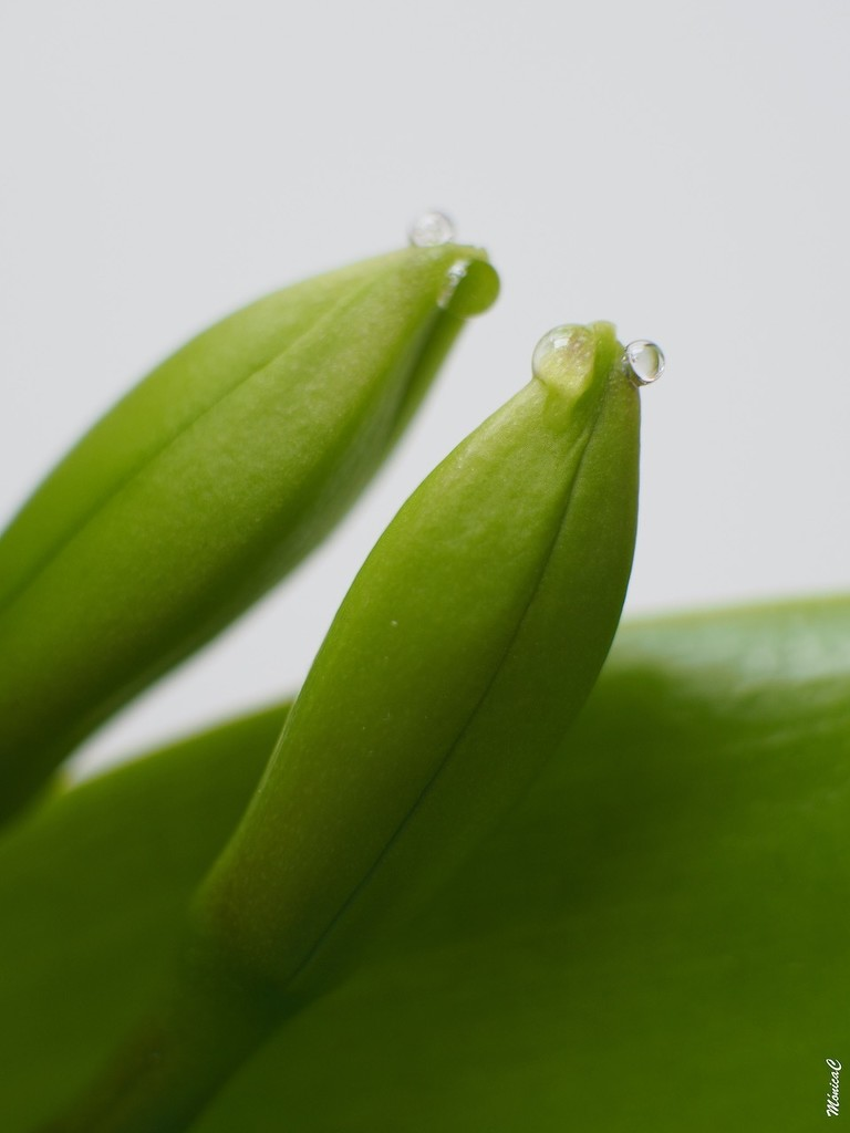 Cattleya buds by monicac