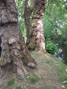 13th May 2020 - Oh I've missed these beautiful trees!