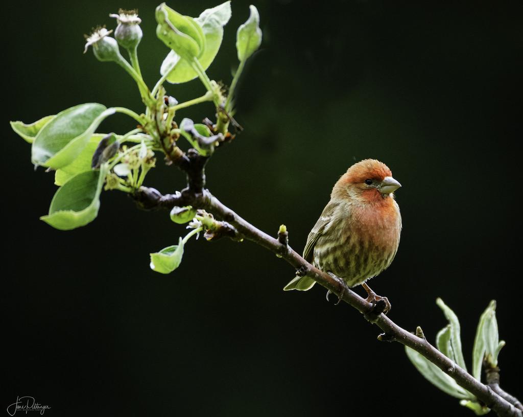 House Finch Sitting Pretty  by jgpittenger
