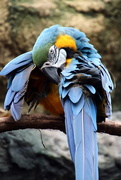 9th May 2020 - Blue Macaw