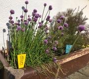 14th May 2020 - Kitchen herb garden