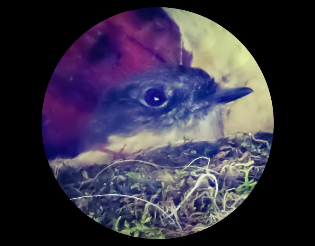 Pheobe on the nest by mzzhope