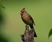 13th May 2020 - LHG-3936- Redbird