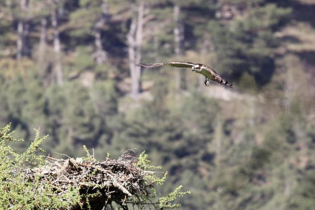 Osprey Watch by jamibann