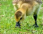 15th May 2020 - Gosling Feeding