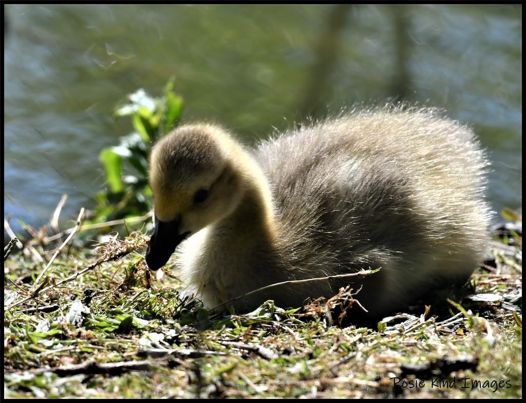 RK3_5622 Little gosling by rosiekind