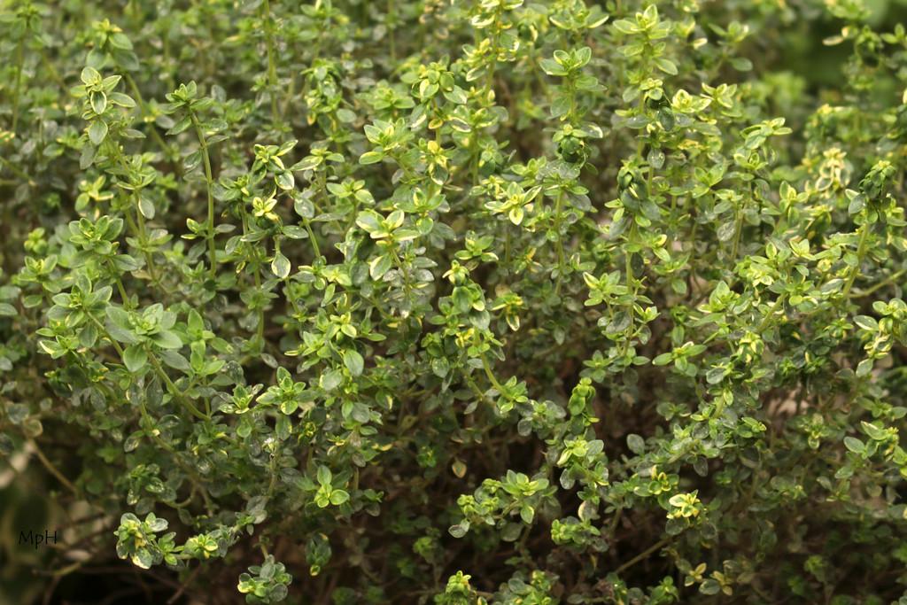 Thymus citriodorus, the lemon thyme or citrus thyme by cherrymartina