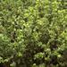 Thymus citriodorus, the lemon thyme or citrus thyme