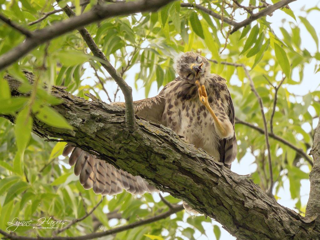Red Shouldered Hawk (teenager) by lynne5477