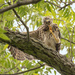 Red Shouldered Hawk (teenager)