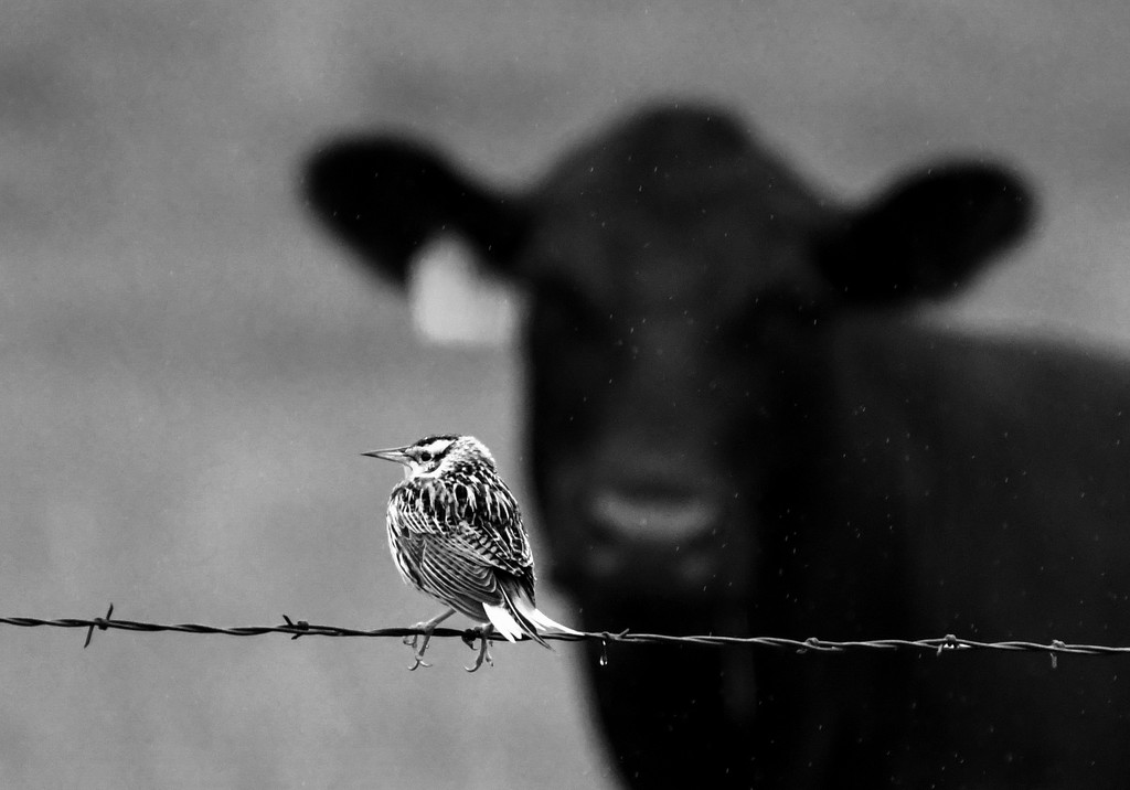 Meadowlark and Cow in the Rain by kareenking