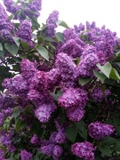 13th May 2020 - Lovely Lilac