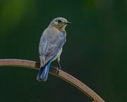 15th May 2020 - LHG-5731-Female Bluebird