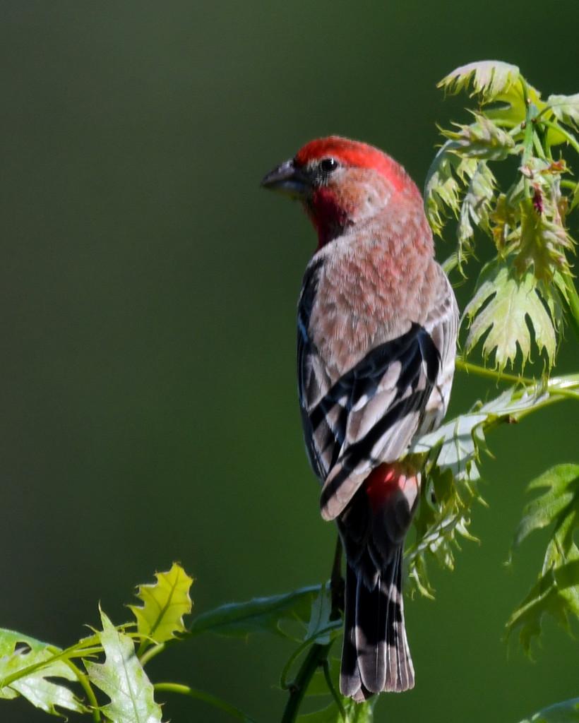 Male Finch by kareenking