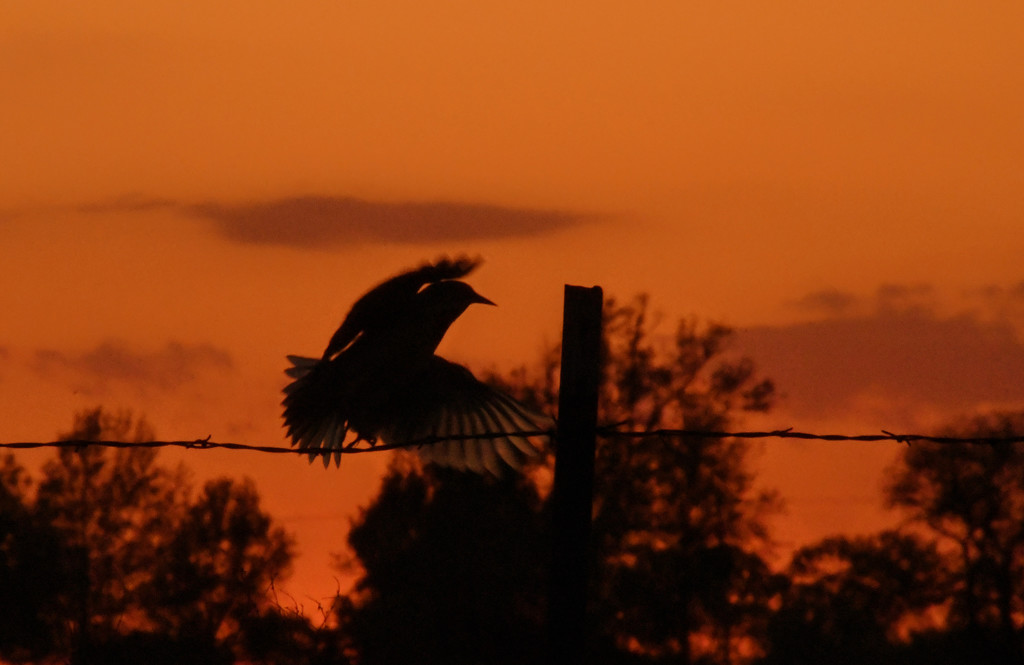 Meadowlark Flies into the Sunset by kareenking