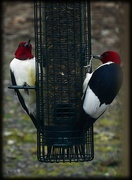 15th May 2020 - Red-headed Pair