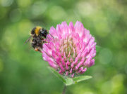 12th May 2020 - Red clover