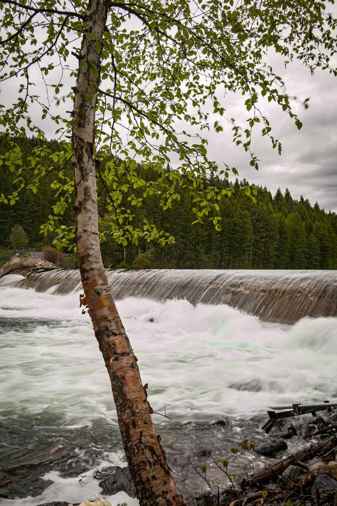 Birch by 365karly1