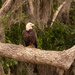 Bald Eagle Taking a Rest! by rickster549