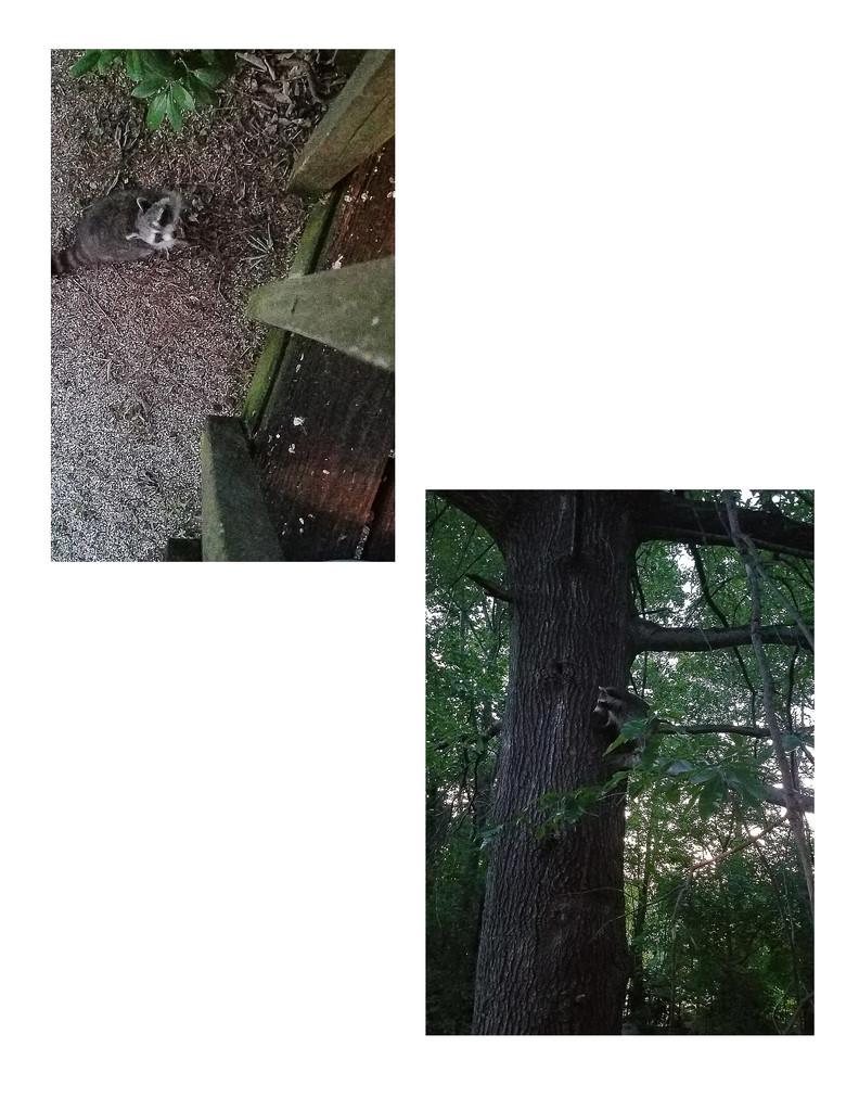 Raccoon by randystreat