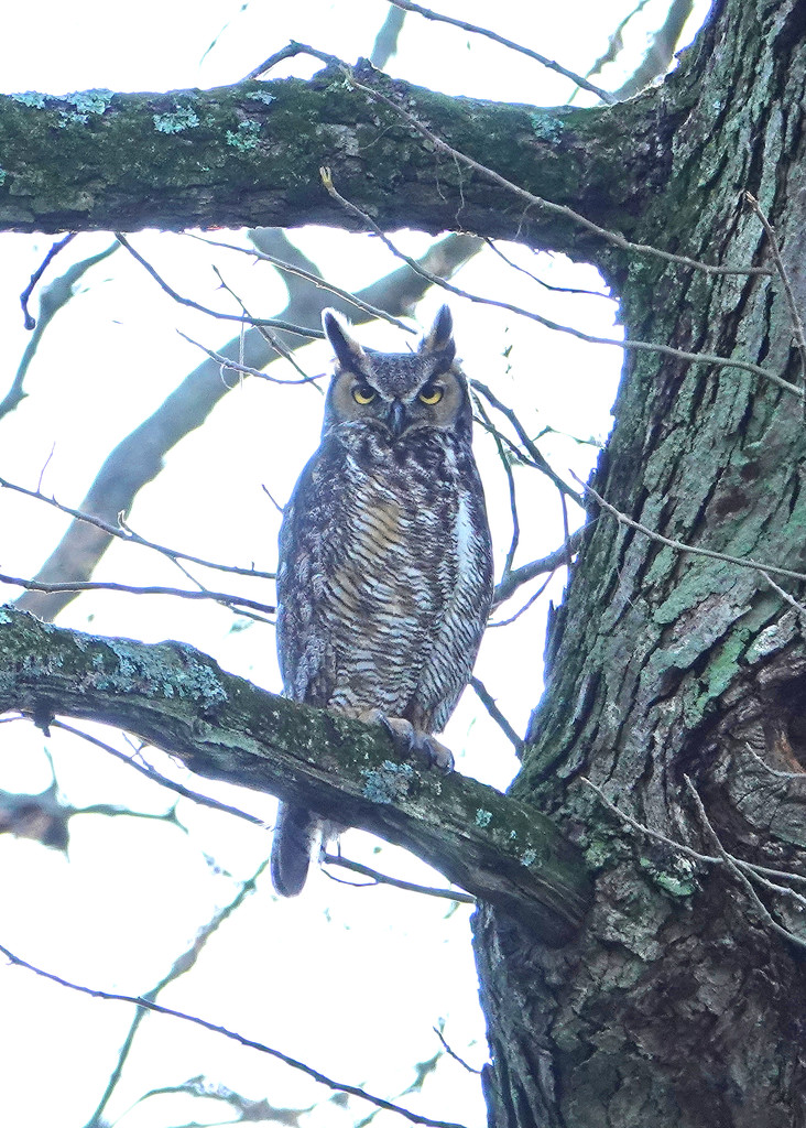 Great Horned Owl by annepann