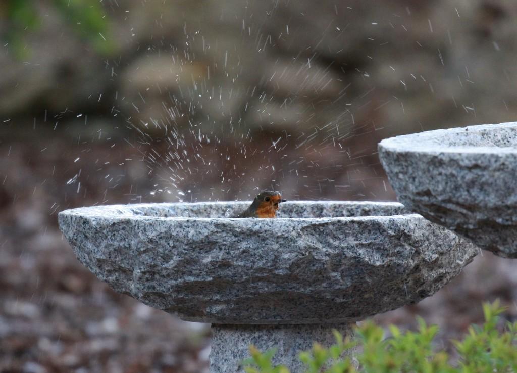 Mr Robin takes a bath by jamibann