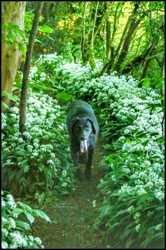Sadie strolling through the wild garlic. by lyndamcg