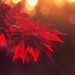 Acer Leaves by fbailey