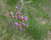 16th May 2020 - Sea Pinks are Back