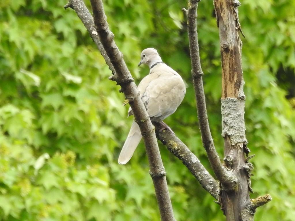Collard Dove by oldjosh