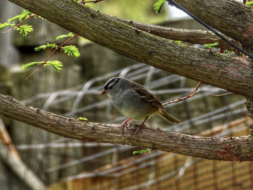 Another spring visitor by amyk