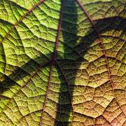 17th May 2020 - Backlight on Leaf