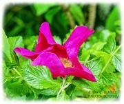 17th May 2020 - Wild Rose