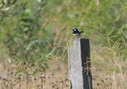 15th May 2020 - male superb blue Wren