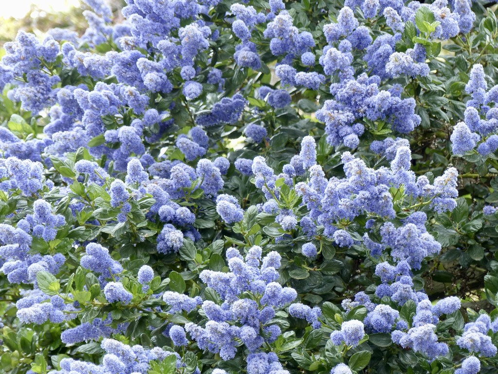 Ceanothus  by foxes37