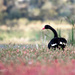 Beauty in the Black Swan by glendamg