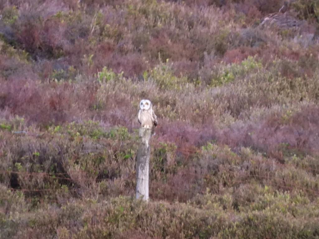 Short eared owl by roachling