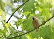 17th May 2020 - Lady Hawfinch