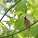 Lady Hawfinch