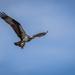 Osprey Showing Off Catch