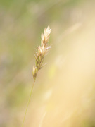 17th May 2020 - Grasses - from my country life