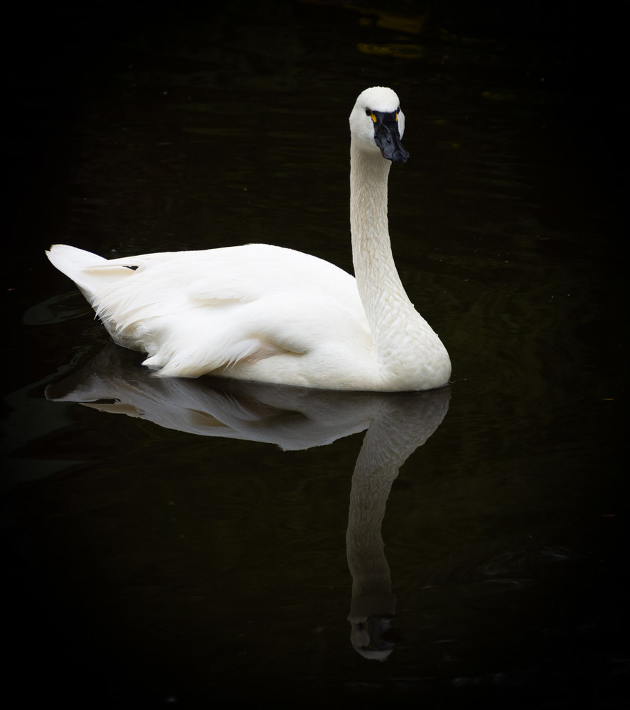 Reflected Swan by 365karly1